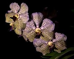 Vanda Orchidee 4 (Lucien30) Tags: orchidee vanda vandaorchidee farbenpracht farbig natur