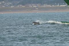 IMG_5844 (monika.carrie) Tags: monikacarrie wildlife scotland aberdeen dolphins dolphin cetacean mammal