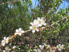 Tea Tree (jdf_92) Tags: australia nsw flower wildflower kuringgai leptospermum kuringgaichase nationalpark teatree