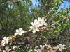 Tea Tree (jdf_92) Tags: australia nsw flower wildflower kuringgai leptospermum kuringgaichase nationalpark teatree