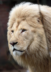african lion Credo Ouwehands JN6A9292 (j.a.kok) Tags: leeuw lion credo afrikaanseleeuw africanlion witteleeuw whitelion pantheraleoleo ouwehands ouwehandsdierenpark ouwehandszoo kat cat mammal africa afrika zoogdier predator