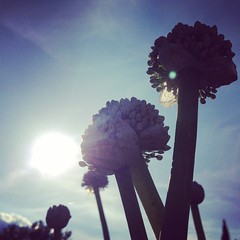 (Daniela Meacci) Tags: flowers blue sky sun flower day blu sunny onion interno7 cipolle