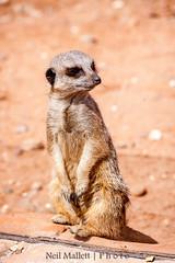 Meerkat pose variation (Bashed) Tags: park meerkat wildlife yorkshire ywp