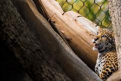 HALP (brandoncozart) Tags: california baby animals mammal zoo cub unitedstates sandiego bigcat jaguar sandiegozoo bigcats valerio