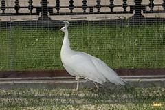 20. White peafowl / Павлин Белый