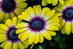 (K e v i n) Tags: flowers nature lensbaby petals spring charleston wv westvirginia lightroom minimaledits capitolmarket sweet35