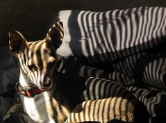 Pup of a venetian striipe (rehughey) Tags: chihuahua dogs oregon 50mm nikon rat silverton terrier v2 ft1