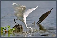 Strike (WanaM3) Tags: fish bird nature fishing nikon texas wildlife ngc attack bayou pasadena canoeing paddling egret greategret lunge clearlakecity armandbayou d7100 avianexcellence wanam3 nikond7100