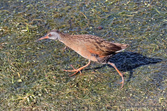 Virginia Rail (Gary Grossman) Tags: bird shy wetlands marsh virginiarail reclusive ridgefield secretive rallidae ridgefieldnationalwildliferefuge garygrossman garygrossmanphotography
