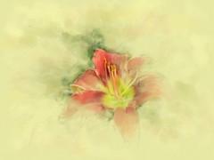 Orange lily - watercolor sketch (edenseekr) Tags: orange sketch lily wabi watercoloreffect photopainting digitallypainted