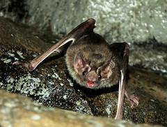 Vampire Bat_2015.07.31 (Urutu_From_SW_PA) Tags: zoo bat hershey bats hersheypark vampirebat hersheypa desmodus zooamerica hersheypennsylvania desmodusrotundus zooamericanorthamericanwildlifepark commonvampirebat northamericanwildlifepark