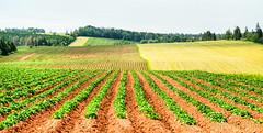 Prince Edward Island Potato Field (Oomphoto - Nancy G. Villarroya) Tags: canada lines horizontal potatoes farm soil land princeedwardisland pei redsoil nikon18200mm potatofield maritimeprovince nikond7000 smallestprovince
