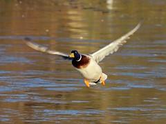 Flight 02 (Wildlife Terry (Behind)) Tags: ducks geese gulls muscovey mallard drake frozen ice canada winterleypool