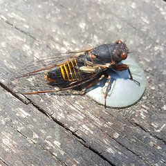 A #cicada on the picnic tables