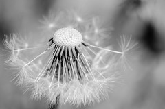 Make a wish (Michael Mckinney (Find my Twitter @MMckinneypho) Tags: make wish dandelion nature weed flowers macro micro tiny seeds details flora garden calgary alberta canada nikon