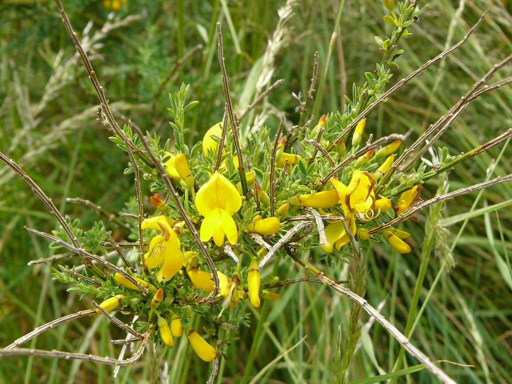 Cytisus scorparia- Besenginster3