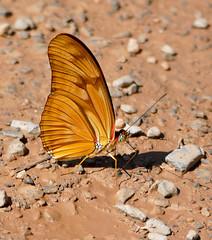 Julia Butterfly (Dryas iulia) (berniedup) Tags: pantanal baiadaspedras portocercado poconé juliabutterfly dryasiulia nymphalidae heliconiinae taxonomy:binomial=dryasiulia