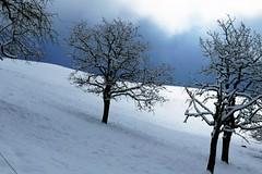 Obstbäume bei Grosshöchstetten im Winter (Martinus VI) Tags: grosshöchstetten möschberg winter winterlandschaft hiver schnee nieve snow neige kanton de canton bern berne berna berner bernese schweiz suisse svizzera suiza switzerland y150222 martinus6 martinusvi