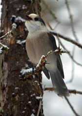Gray Jay (Arvo P) Tags: algonquinpark outdoors ontario park nature natural naturallight naturephptpgraphy winter arvopoolar