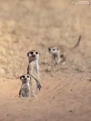 Guardians of the Kgalagadi (dieLeuchtturms) Tags: karas 3x4 africa afrika dornbuschsavanne dornstrauchsavanne erdmännchen feloidea hardap herpestidae kalahari kalaharigamelodge katzenartige kgalagadi khoekhoegowab mangusten meerkat namibia suricatasuricatta ǁkaras karasregion