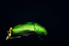 Greeeeeen (aotaro) Tags: 7dwf closeup ilce7m2 macro fe90mmf28macrogoss composites scarabbeetle
