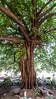 Twisted tree (François aka Tweek) Tags: delhi india qutab minar