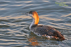 """Red-Throated Loon Sunrise """"Magic Hour"""" During Cold Winter Visit to Barnegat Lighthouse State Park of New Jersey (Long Beach Island) (takegoro) Tags: sunrise """"barnegat lighthouse state park"""" barnegat """"new jersey"""" nature ocean sea """"jersey shore"""" """"long beach island"""" lbi water winter magichour goldenhourbird wildlife loon """"red throated"""""""