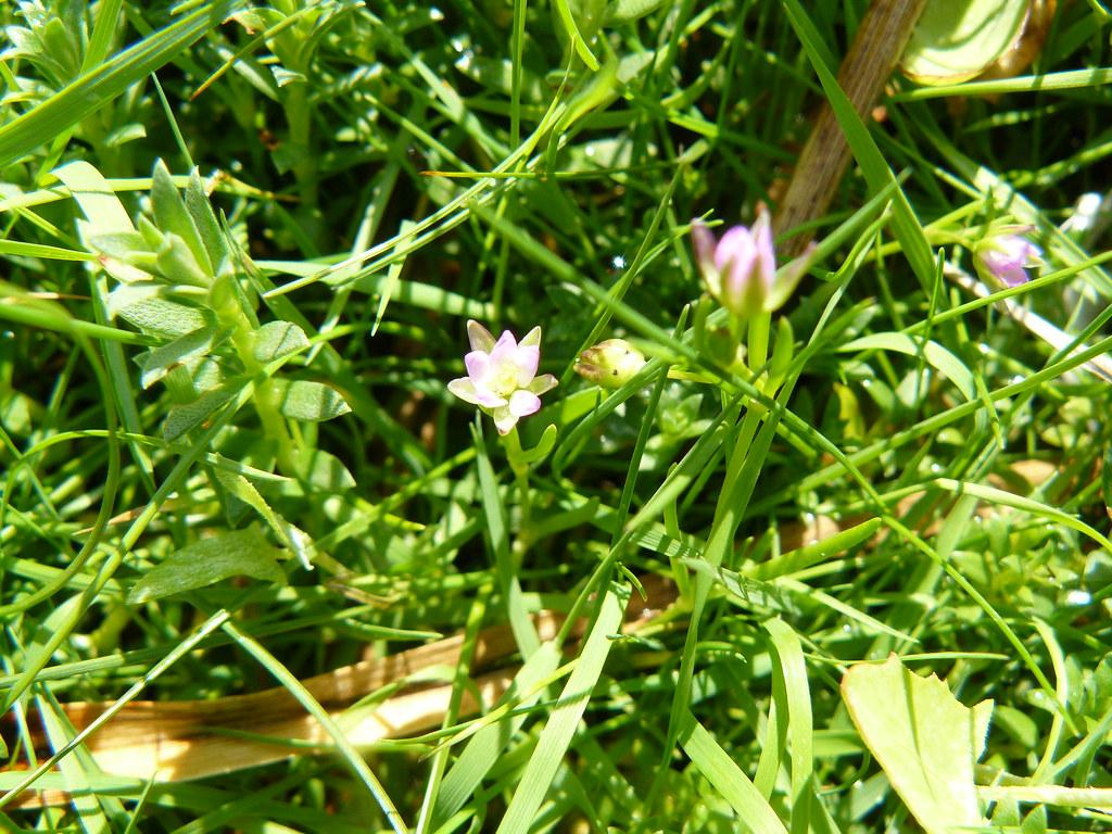 Spergularia marina- Salzspärkling1 (2)