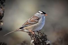 White-crowned Sparrow by Jackie B. Elmore 1-9-2017 Lincoln Co. KY (jackiebelmore) Tags: zonotrichialeucophrys whitecrownedsparrow sparrow lincolnco kentucky tamronsp150600f563 nikon7100 jackiebelmore kos