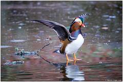 Mandarin Duck (Bernt-Inge) Tags: aixgalericulata berntingecom berntingeno canonef100400mmf4556lisiiusm canoneos1dxmarkii kristiansand mandarinduck norway ravnedalen