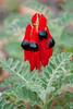 alice springs_sturts desert pea_2127a.jpg (ImaginingsLifeImages) Tags: pea flowers nature australia floraandfauna fabaceae fabales australiannative flora sturtsdesertpea leguminosae formosa legumes faboideae alicesprings nt places swainsona jaycreek