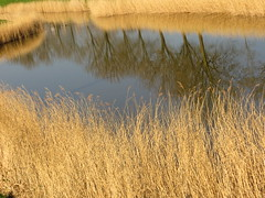 Reflections-2 (~Ingeborg~) Tags: meinge reflections vijfhuizen water rietkraag reed bomen trees blauw goudgeel goldenyellow stilte silence sfeer atmosphere landschap landscape texture structuur serene sereen spring lente eenwarmedag ahotday 20degrees 20graden 3april2016 april32016 holland thenetherlands nederland