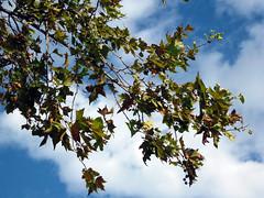 IMG_0411 -  è autunno (molovate) Tags: secca foglia volate autunno cielo albero tafme ramo nuvola vista alto molovate stagione anno canon digital ixus 980 is
