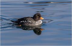 Female Barrow's Goldeneye (Pius Sullivan) Tags: bird duck nature canada canon outdoors animal water ocean