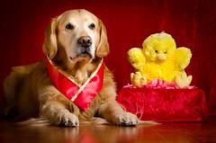 Chinese New Year (bztraining) Tags: dogchal odc zachary bzdogs bztraining golden retriever 3652017 7daysofshooting week29 imitations shootanythingsaturday