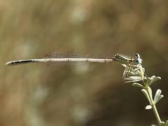 Platycnemis latipes ♂ (fturmog) Tags: fauna odonats odonátos odonata libélulas libèl·lules dragonflies alòsdebalaguer