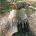 Beaver Chew, Angel's Landing Trail, Zion 5-1-14