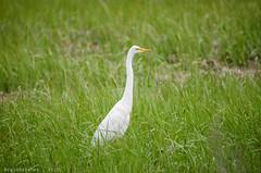 Birds of Sandy Hook - Great Egret - 3 (RGL_Photography) Tags: us newjersey highlands unitedstates wildlife handheld mothernature sandyhook greategret ardeaalba sandyhookbay gatewaynationalrecreationarea commonegret spermaceticove nikond7000 tamronsp150600mmf563divcusd birdsofsandyhook