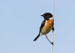 Cartaxo-comum | Common Stonechat (Saxicola rubicola) (Renato Bagarrão) Tags: bird nature birds animals wildlife natureza birding aves vida ave ani birdwatching selvagem cartaxocomum saxicola stonechat saxicolarubicola rubicola europeanstonechat saxicolatorquatusrubicola
