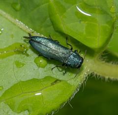 """Anything but Boring.... """"Metallic Wood-boring Beetle"""" (Luckybon) Tags: metallicwoodboringbeetle"""