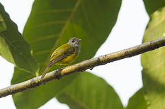 Grey-headed Canary Flycatcher (as_kannan) Tags: karnataka coorg culicicapaceylonensis honeyvalleyestate