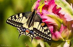 Zauber (Scotti van Palm) Tags: macro butterfly summertime flowerpower flowercolors macrophotografie