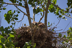 July 2, 2015 - A female Swainson's Hawk sits on her Adams County nest. (Bobby H)