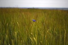 cornflower blue 27/52 (auroradawn61) Tags: nikon dorset uk england summer countryside july flickrfriday wheat cornflower crops field wingreenhill lessismore explored interestingness 52weeks 52weeksin2015 52weeksin2015project week27 bestshotof2015