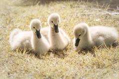 Black Swan cygnets sunbaking (kerriebr) Tags: white black cute bird swan cygnet australia chick queensland goldcoast cygnus anseriformes atratus