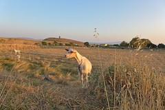 goat (Fif') Tags: greece grèce griechenland hellás hellas égée aegean 2016 limnos lemnos island île grècque greek λήμνοσ λύχνα lychna