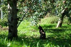 りんご園の猫 (pon-ko) Tags: 猫 cat りんご apple 弘前 hirosaki 青森 aomori xt1
