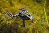 To drift along (Rico the noob) Tags: dof 300mm nature d500 switzerland frog outdoor 2016 animal tc14eiii zurich macro schweiz 300mmf4pf published animals bokeh water closeup neeracherried