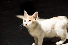 Clair obscur (lisonlaguionie) Tags: chat cat maroc greeneyes babycat