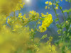 bow in greeting (Tomo M) Tags: bow greeting canola yellow 菜の花 吾妻山公園 bokeh